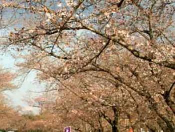 tn_万博公園桜